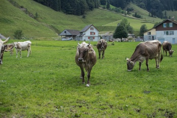 Cows at the base of Ebenalp