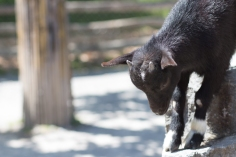 Baby goat in the petting zoo