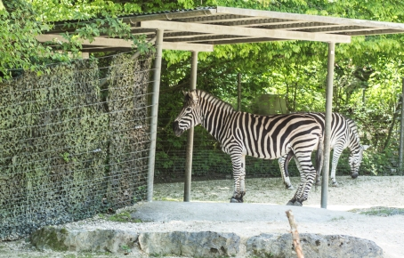 Zebra's just chillin